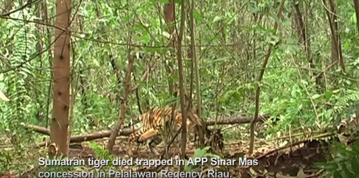 Ein vom Aussterben bedrohter Sumatra-Tiger starb in einer Falle im Konzessionsland der APP Sinar Mas. Copyright: Greenpeace Indonesia.
