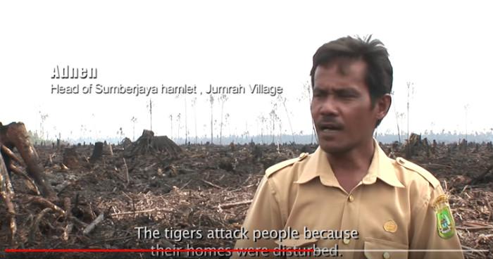 Die Tiger greifen Leute an, weil ihr Lebensraum gestört ist. Copyright: Greenpeace Indonesia.