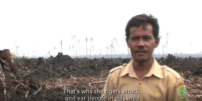 Das ist der Grund, weshalb Tiger in dieser Gegend Menschen angreifen und fressen. Copyright: Greenpeace Indonesia.