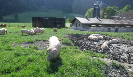 Beim Schloss Marschlins suhlen sich Schweine in der nassen Erdgrube, andere fressen frisches Gras.