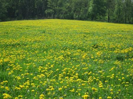 ... auch der Löwenzahn mag ein reiches Angebot an Nährstoffen. Er hat die Wiesen bis in hohe Lagen erobert und so viele andere Blütenpflanzen und Gräser verdrängt.