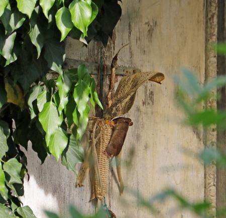Bei Christine (siehe Kommentar zu diesem Artikel) räumt im Moment die Waldmaus die letzten Maiskörner des die Gartenhaustüre schmückenden gelben Maiskolben von 2017 ab. Copyright: Christine Dobler Gross