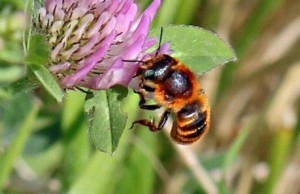 Am Burghölzliwaldrand wurden sehr viele Wildbienennester gefunden. Zudem gelang der Erstnachweis der Goldenen Schneckenhaus-Mauerbiene. Copyright: Natur im Siedlungsgebiet.