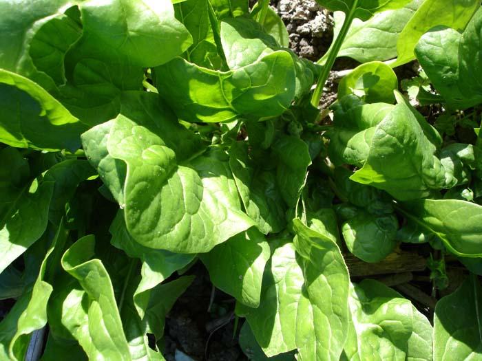 Chlorpyrifos ist in der Schweiz für viele Kulturen zugelassen, z.B. Spinat.