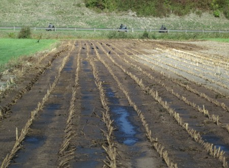 Auf einem abgeernteten Maisfeld hat ein Bauer bereits Gülle ausgebracht. Die Krähen freuen sich über allerlei Fressbares (wie Regenwürmer), das an die Oberfläche geflüchtet ist. In der Regel liegen die begüllten Felder bis im Frühling ungepflügt brach, was eine Widerhandlung gegen die Chemikalien-Risikoreduktions-Verordnung ist, denn stickstoffhaltige Dünger dürfen nur zu Zeiten ausgebracht werden, in denen die Pflanzen den Stickstoff aufnehmen können. Hier gibt es nicht einmal Unkräuter!
