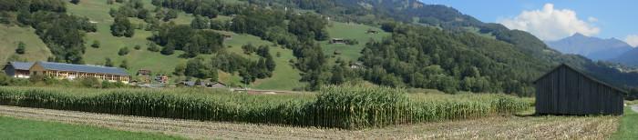 Unterschiedlich hohe Maispflanzen wegen Wassermangel.