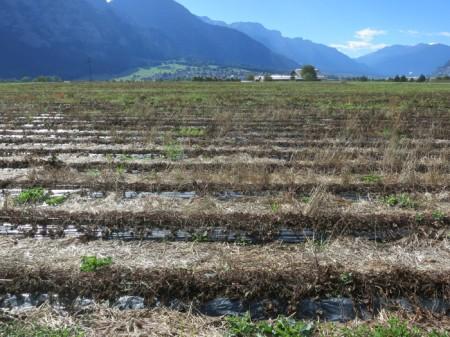 Tote Pflanzen auf mit Folie bedecktem Damm.
