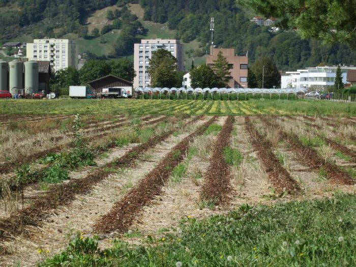 Im Hintergrund: frisch gespritzte Streifen, Im Vordergrund: abgestorbene Pflanzen.