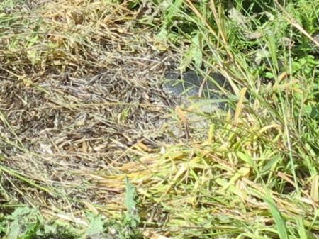 Schwarze Folie und mit Herbizid bespritzte Pflanzen.