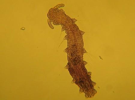 Troglochaetus beranecki ist eine kleine Vielborster-Art (Polychäten), die im Grundwasser lebt. Es ist die einzige im Süsswasser lebende Art ihrer Familie. Copyright: Institut für Grundwasserökologie IGÖ GmbH.