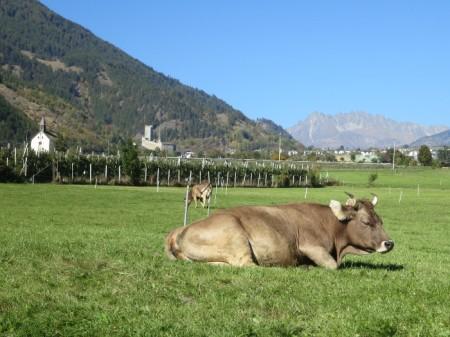 Weidenden Kühen neben Obstplantage im Obervinschgau.