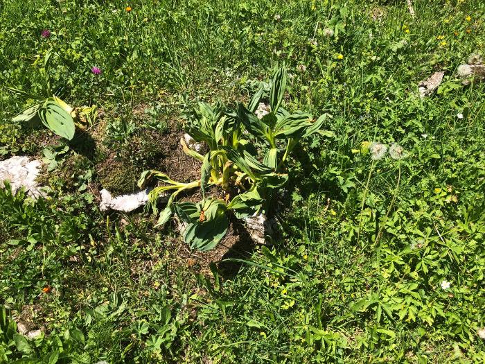 Besonders verwerflich ist der Herbizideinsatz auf Alpen, der gang und gäb ist. Allzu oft kennen die SpritzerInnen nicht einmal die Pflanzen. Hier wurde ein Gelber Enzian bekämpft, der in einigen Kantonen geschützt ist.