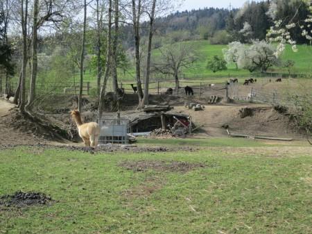 Das Naturschutzgebiet in der Chegelwies Bichwil befindet sich in einem miserablen Zustand, doch die Gemeinde Oberuzwil unternimmt nichts gegen die Zerstörung und verzögert die Behandlung eines nachträglichen Baugesuches betr. Bauten für die Haltung von Alpakas und Pferden, gegen welches der WWF Einsprache erhoben hatte.