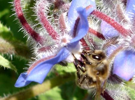 Thiacloprid schädigt die Bienen.