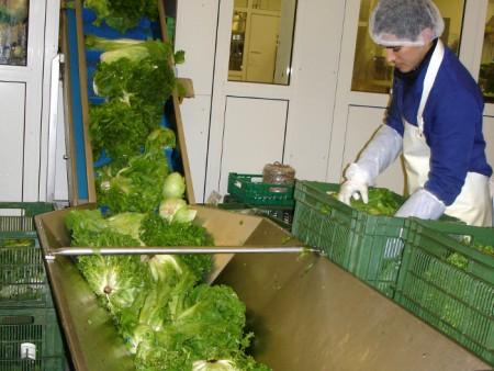 Salat vom Feld im Grossen Moos wird im Verarbeitungsbetrieb Spavetti in Kerzers in die automatische Waschanlage befördert.