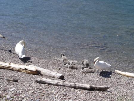 Ufer mit Schwanenfamilie im Sommer.
