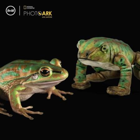 Der Gold-Laubfrosch oder Grün-goldene Glockenfrosch (Litoria aurea) ist als stark gefährdet eingestuft. Rechts: Froggy Frosch von Steiff. Copyright: Joel Sartore
