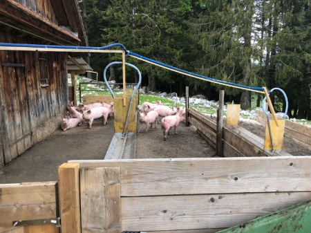 Alpschweine. Copyright: Tobeltoni