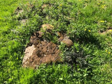 Abgestorbenes Moos auf einem Steinhaufen, welcher 2019 mit Herbizid behandelt wurde. Copyright: Simon F.