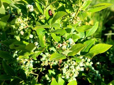 """Heidis Heidelbeeren am Morgen, 27.5.20. Heidi muss sich noch etwas gedulden, in der Zwischenzeit Erdbeeren essen, dafür sind die Heidelbeeren frisch aus dem Garten garantiert pestizidfrei; die Erdbeeren auch! Dies im Gegensatz von vielen importierten. <a href=""""https://www.srf.ch/news/schweiz/heidelbeer-boom-chemie-cocktail-auf-import-fruechten"""" target=""""_blank"""" rel=""""noopener"""">Heidelbeer-Boom - Chemie-Cocktail auf Import-Früchten</a>, Roger Müller, Kassensturz vom 19.5.20"""
