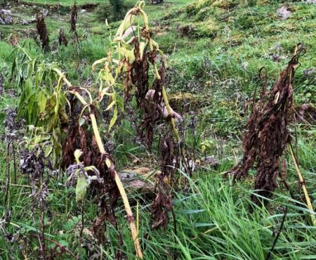 Mit Herbizid behandelte Pflanze.