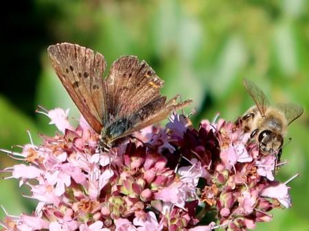 Schmetterlinge und Bienen lieben Origano.