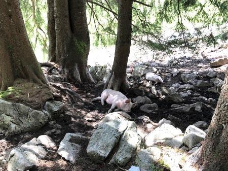 Die Schweine geniessen den Schatten im Wald. Copyright: Tobeltoni