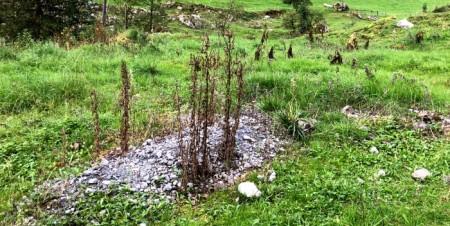 Mit Herbizid behandelte Pflanze auf Kiesfläche.