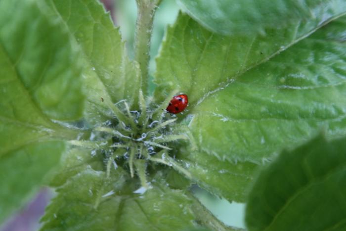 Während Heidi nach Schnecken sucht, welche die Sonnenblumen zu Fall bringen könnten, schläft ein Marienkäfer auf einer sich entwickelnden Blüte.