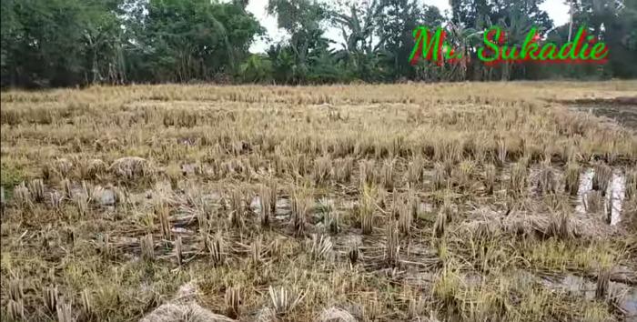 Nach der Ernte wurden das Reisfeld und die Dämme mit Paraquat behandelt.