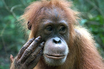 Orang-Utan ,fotografiert von Peter Jaeggi. Er hat wohl schweizweit die grösste Orang-Utan-Fotosammlung. © Peter Jaeggi