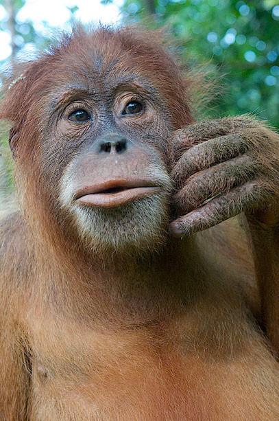 Zu jedem der bisher 12 Geschichten von Peter Jaeggi gibt es ein Foto. Besuchen Sie seine Homepage! Hier nochmals ein Beispiel aus seiner grossen Orang-Utan-Fotosammlung © Peter Jaeggi