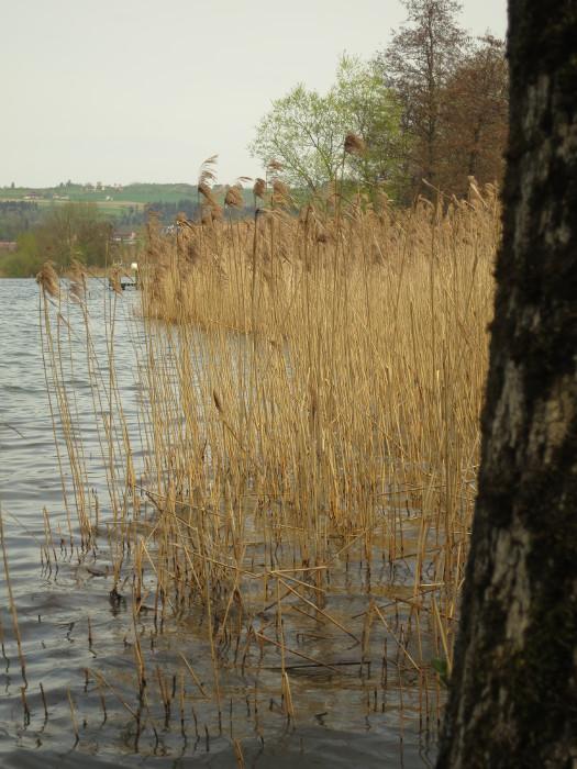 """Schilfgürtel am Sempachersee. Seit Jahrzehnten wird der See mit Steuergeldern künstlich am Leben gehalten. Die Landwrtschaft """"darf"""" weiterhin ungestraft verschmutzen."""