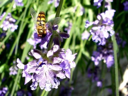 Insekten lieben und bestäuben Lavendel!