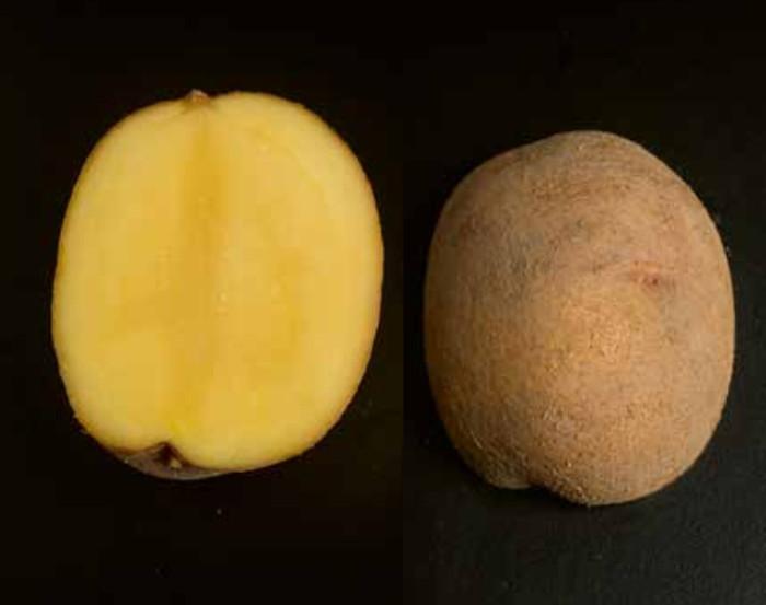 Die Sorte Osira, Sortenblatt Agroscope, Swisssem uns Swisspatat.