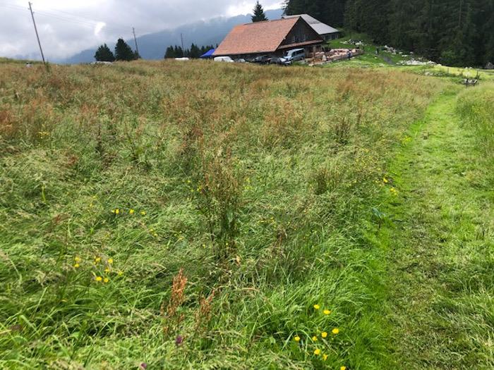 Blackenweide: Grosse Flächen der Alp Gummen sind jetzt überdüngt und daher verunkrautet.