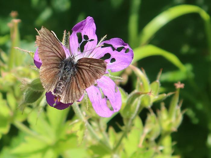 Schmetterling auf schon zerfressener Storchenschnabelblüte
