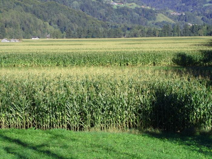 Maisfelder für Viehfutter auf ebenem fruchtbarem Talboden.