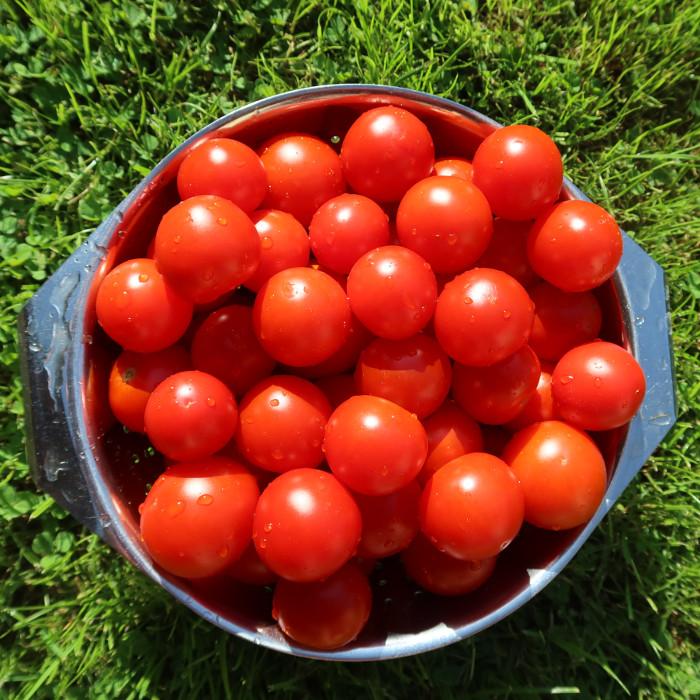 Reif geerntete Tomaten.