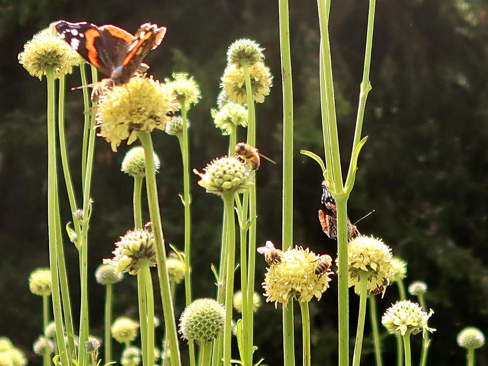 Die Pflanzenvielfalt im Garten des Hotel Schatzalp ist riesig, was offensichtlich auch Schmetterlinge und Bienen lieben.