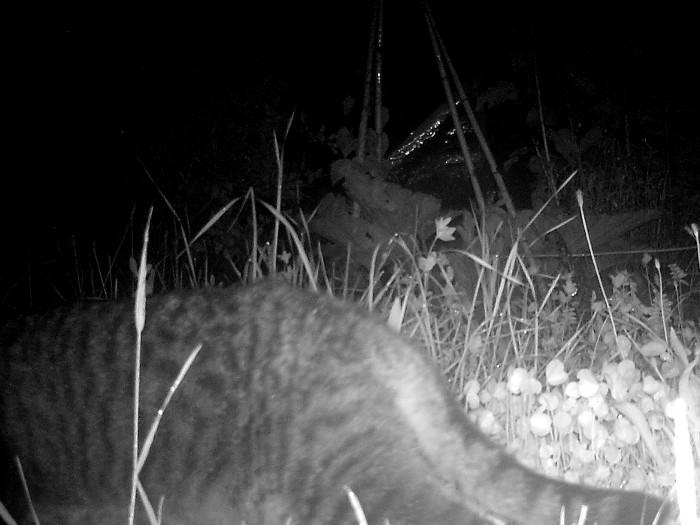Um Mitternacht ist ein Tiger unerwegs.