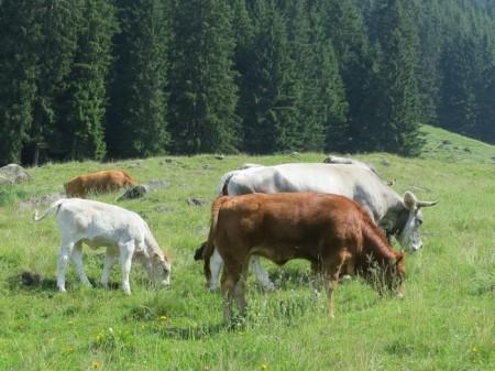 Mutterkühe = Fleischkühe auf einer AlpMutterkühe = Fleischkühe auf einer Alp